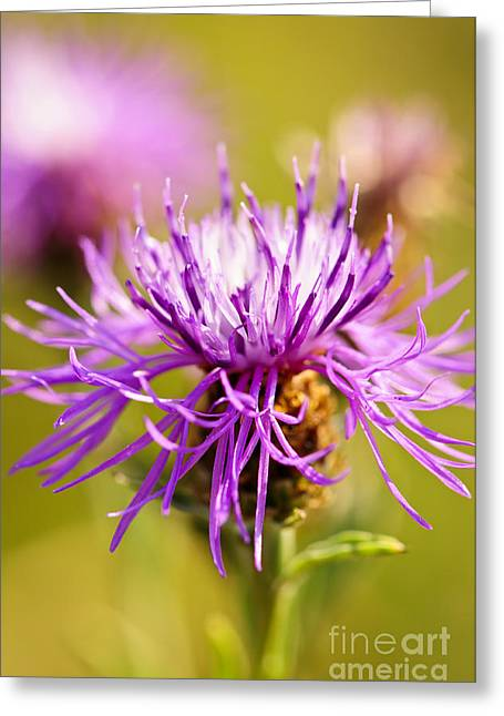 Flowering Greeting Cards - Knapweed flower Greeting Card by Elena Elisseeva