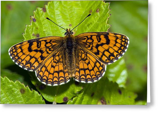 Phoebe Greeting Cards - Knapweed Fritillary Butterfly Greeting Card by Paul Harcourt Davies