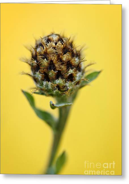 Thistle Greeting Cards - Knapweed plant Greeting Card by Elena Elisseeva