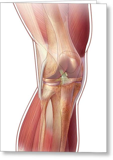 Knee Anatomy Greeting Card by John M Daugherty and Photo Researchers