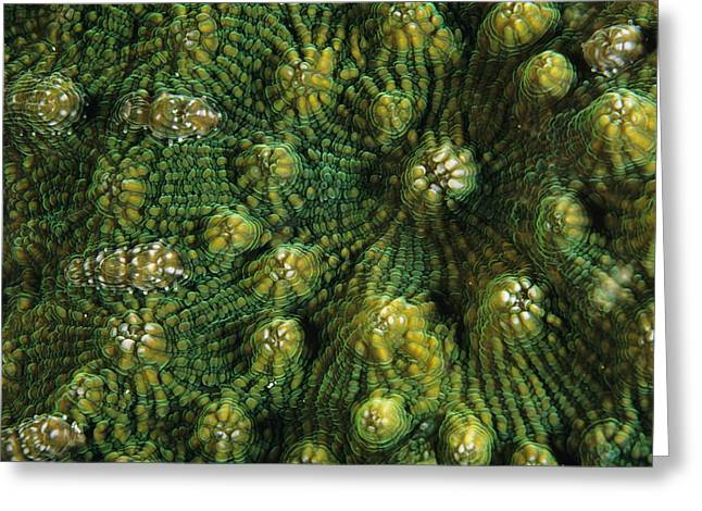 Knobby Greeting Cards - Knobby Cactus Coral Greeting Card by Alexis Rosenfeld