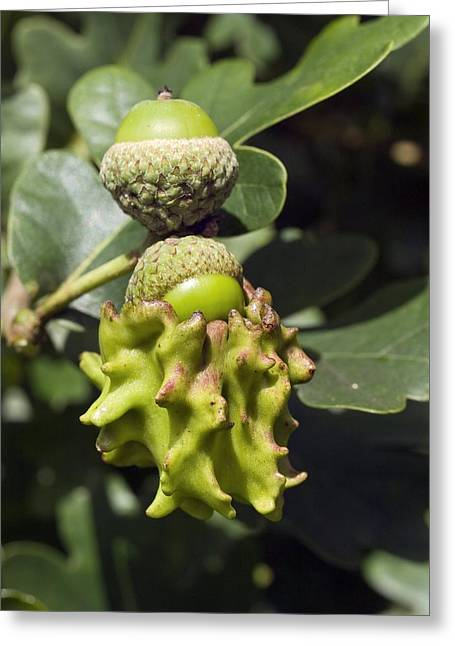 Acorn Greeting Cards - Knopper Gall On Acorn Greeting Card by Adrian Bicker
