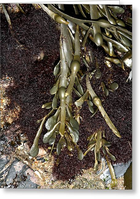 Algal Greeting Cards - Knotted Wrack (ascophyllum Nodosum) Greeting Card by Dr Keith Wheeler