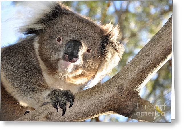 Blinky Greeting Cards - Koala Bear Greeting Card by Amanda Henderson