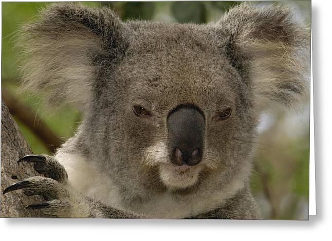 Koala Phascolarctos Cinereus Portrait Greeting Card by Pete Oxford