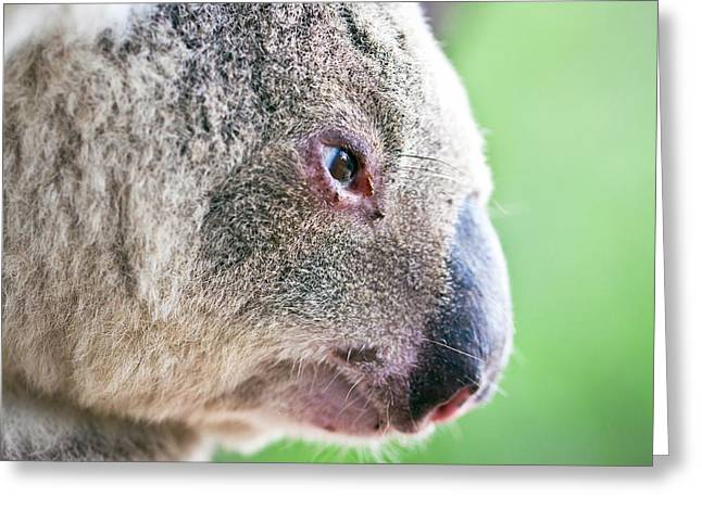 Koala profile portrait Greeting Card by Johan Larson