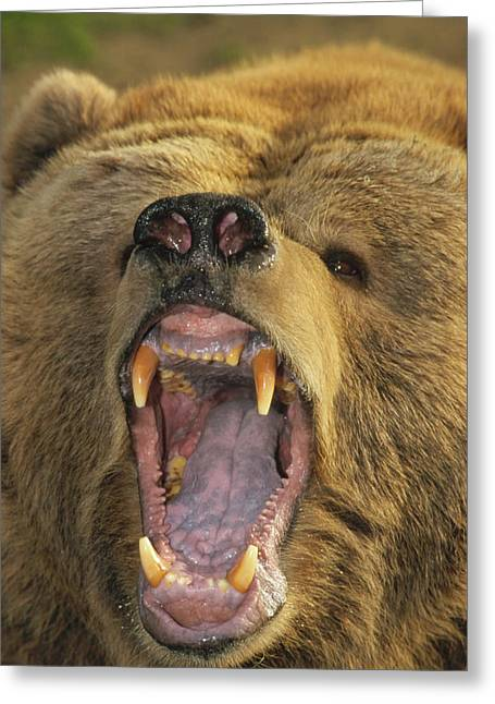Growling Greeting Cards - Kodiak Bear Ursus Arctos Middendorffi Greeting Card by Matthias Breiter