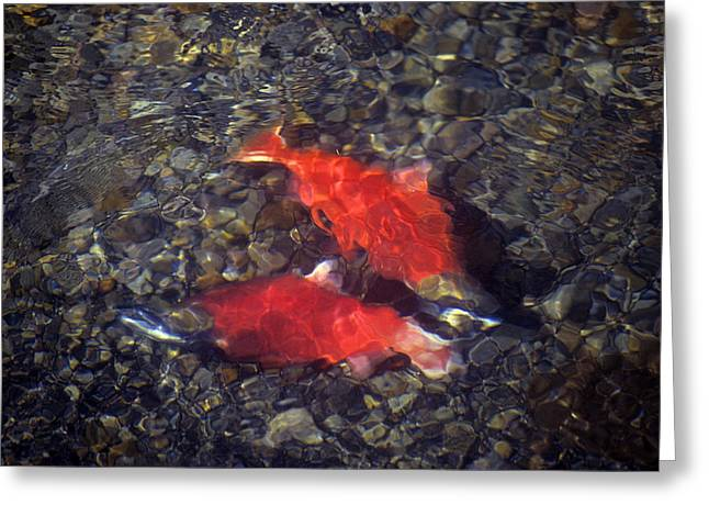 Kokanee Salmon Males Fight Greeting Card by Michael S. Quinton