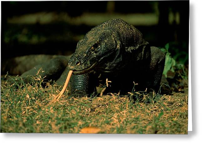 Dragon Concept Greeting Cards - Komodo Dragons Varanus Komodoensis Greeting Card by Tim Laman