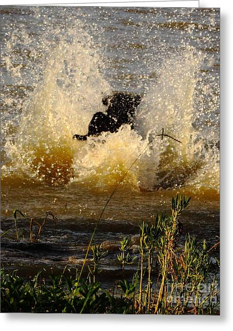 Black Labrador Retreiver Greeting Cards - Lab At Work Greeting Card by Robert Frederick