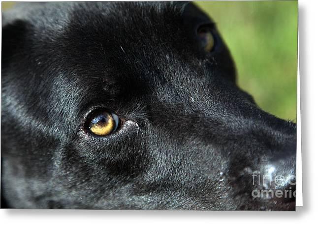 Dog Photographs Greeting Cards - Lab mix Greeting Card by Amanda Barcon
