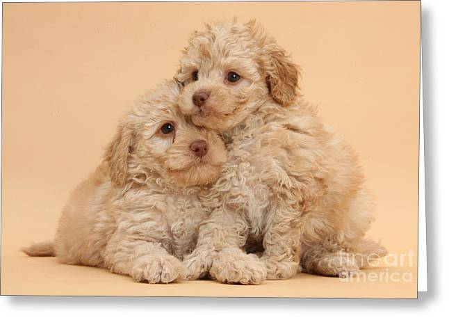 Toy Dog Greeting Cards - Labradoodle Puppies Greeting Card by Mark Taylor