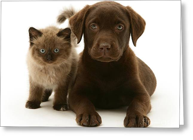 Mixed Labrador Retriever Greeting Cards - Labrador Pup And Birman-cross Kitten Greeting Card by Jane Burton