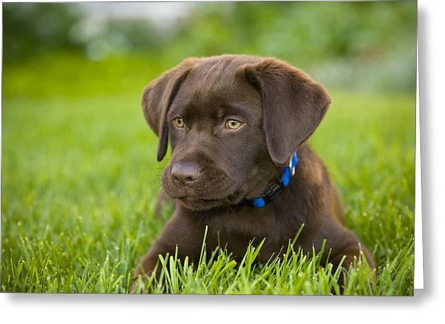 Chocolate Lab Greeting Cards - Labrador Retriever Greeting Card by Corey Hochachka