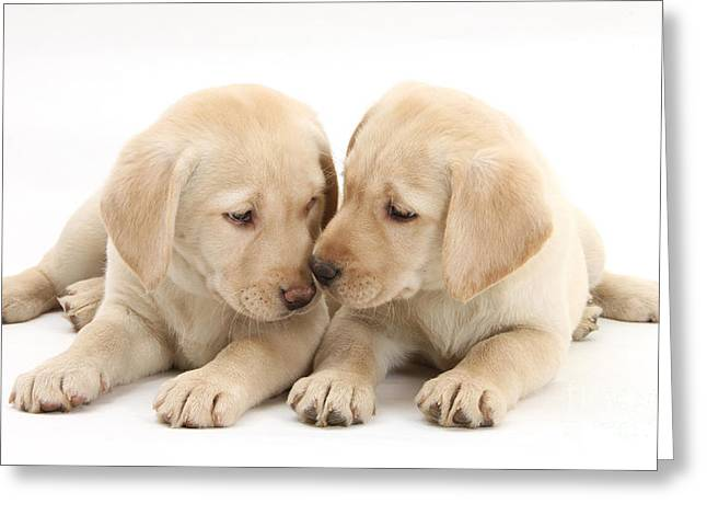 Cute Labradors Greeting Cards - Labrador Retriever Puppies Greeting Card by Mark Taylor