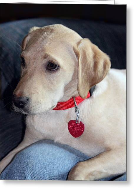 Protrait Greeting Cards - Labrodor Puppy with Red Accents Greeting Card by Linda Phelps