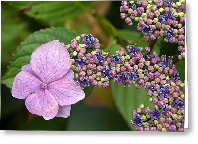 Lacecap Greeting Cards - Lacecap Hydrangea Greeting Card by Adrian Bicker