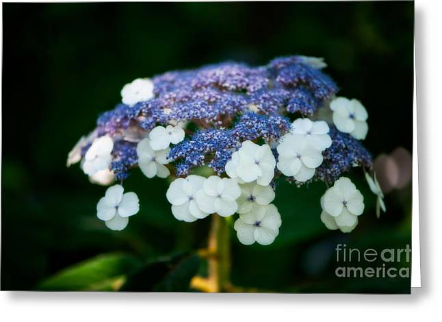 Lacecap Greeting Cards - Lacecap Hydrangea Greeting Card by Venetta Archer