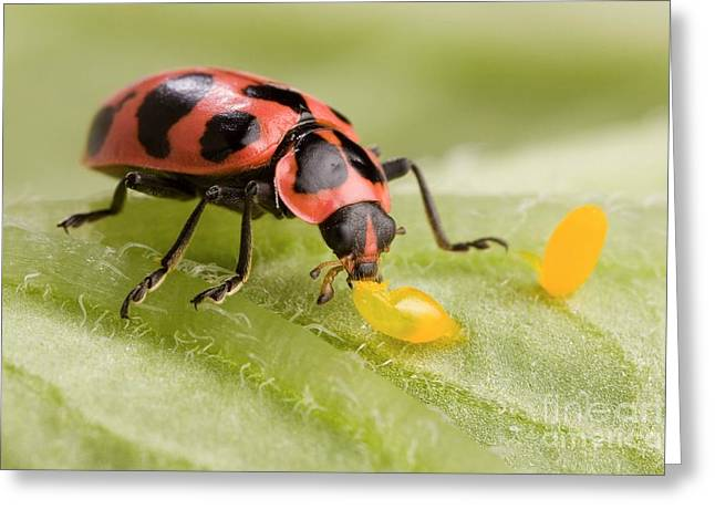 Insect Control Greeting Cards - Lady Beetle Eats Potato Beetle Eggs Greeting Card by Science Source