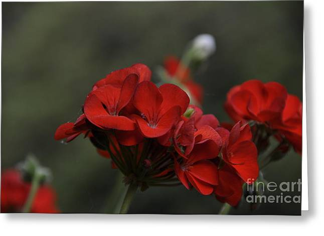 Red Geraniums Greeting Cards - Lady in Red Greeting Card by Tamera James