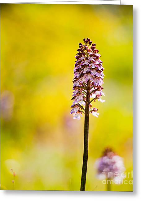 Orchis Greeting Cards - Lady orchid Greeting Card by Gabriela Insuratelu