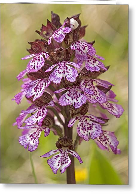Orchis Greeting Cards - Lady Orchid (orchis Purpurea) Greeting Card by Bob Gibbons