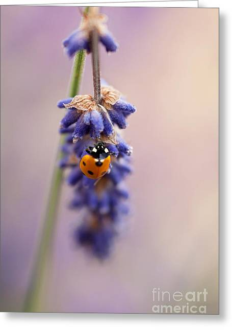 Lavandula Greeting Cards - Ladybird and Lavender Greeting Card by John Edwards