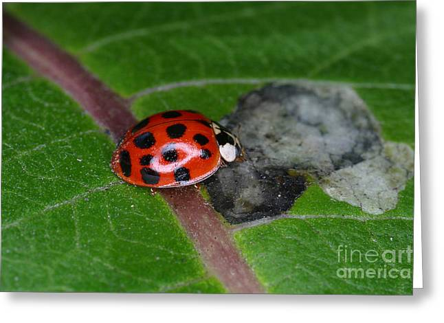 Insect Control Greeting Cards - Ladybird Beetle Greeting Card by Ted Kinsman
