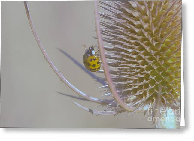 Flying Insect Greeting Cards - Ladybug Croosing The Prickles  Greeting Card by Jeff  Swan
