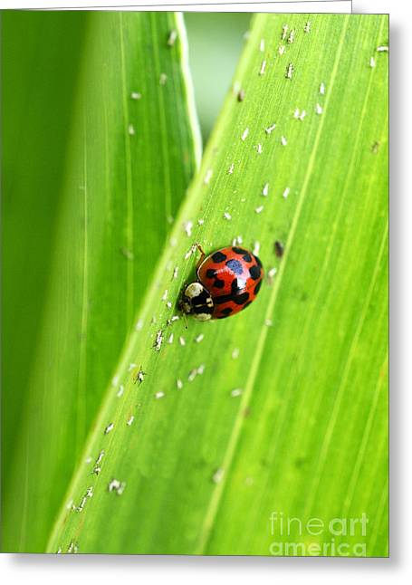 Insect Control Greeting Cards - Ladybug on Green Greeting Card by Thomas R Fletcher