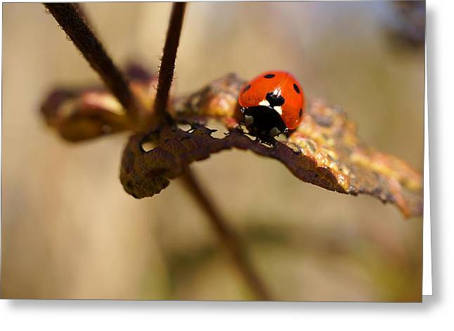 Photographs With Red. Greeting Cards - Ladybug with Heart Greeting Card by Beth Akerman