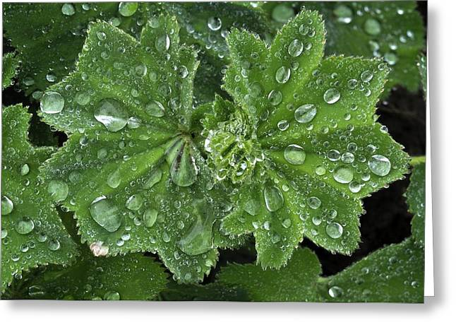 Dewdrops Greeting Cards - Ladys Mantle (alchemilla Alpina) Greeting Card by Colin Varndell