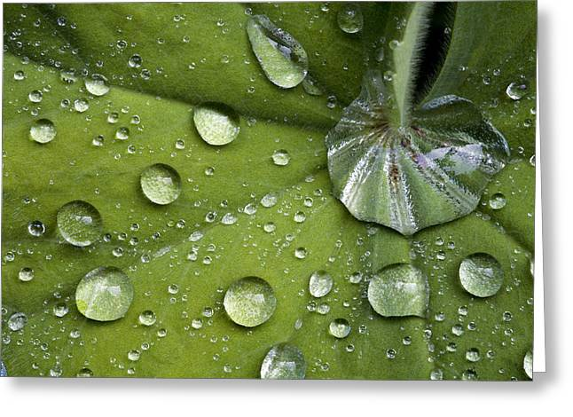 Dewdrops Greeting Cards - Ladys Mantle Leaf (alchemilla Mollis) Greeting Card by Dr Keith Wheeler