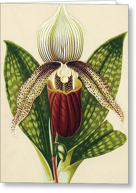 Orchidaceae Greeting Cards - Ladys Slipper Orchid Greeting Card by Sheila Terry