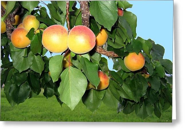 Apricot Tree Greeting Cards - Lake Country Apricots Greeting Card by Will Borden