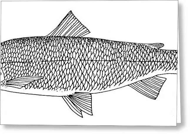 Aquatic Greeting Cards - Lake Whitefish Greeting Card by Granger