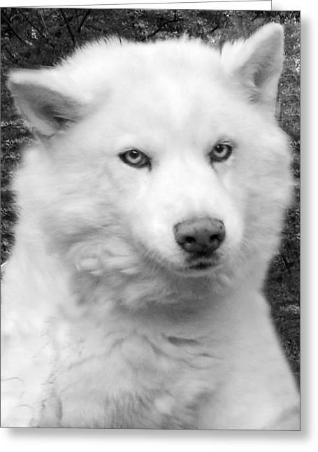 Husky Greeting Cards - Lakota Greeting Card by Eric Albright