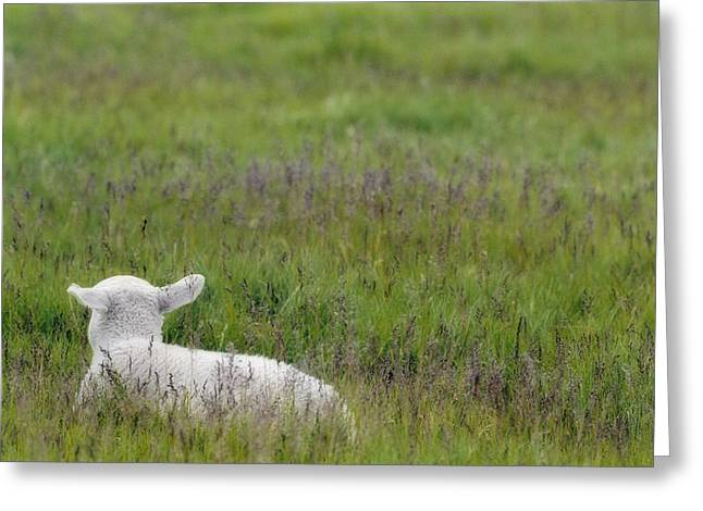 Rearview Greeting Cards - Lamb In Pasture, Alberta, Canada Greeting Card by Darwin Wiggett