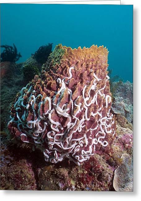 Medusa Greeting Cards - Lamberts Worm Sea Cucumbers Greeting Card by Georgette Douwma