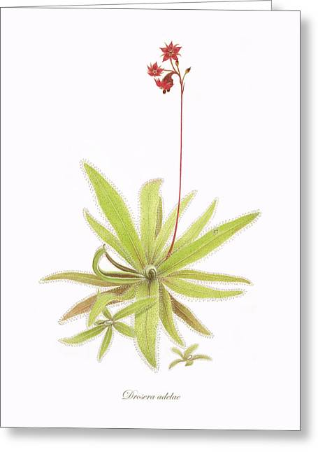 Green Leafs Drawings Greeting Cards - Lance Leaved Sundew Greeting Card by Scott Bennett
