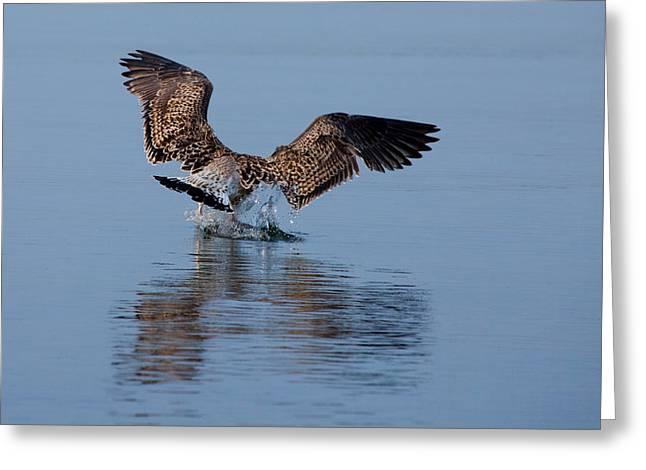 Walking On Water Greeting Cards - Landing Action Greeting Card by Karol  Livote