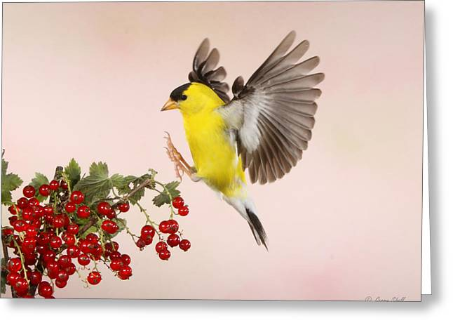 Canary In Flight Greeting Cards - Landing For A Quick Charge At The Currant Bush Greeting Card by Gerry Sibell
