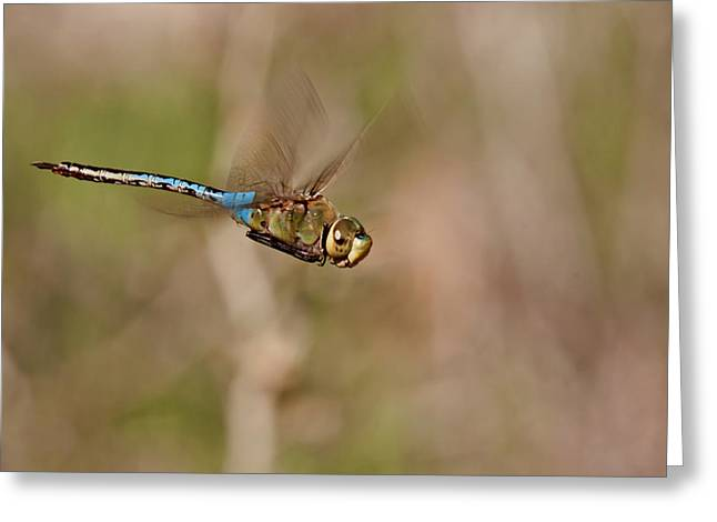 Blue Darner Dragonfly Greeting Cards - Landing Gear Up Greeting Card by Robert Salinas