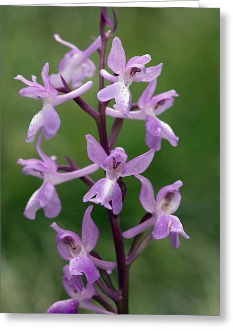 Orchis Greeting Cards - Langes Orchid (orchis Langei) Greeting Card by Bob Gibbons