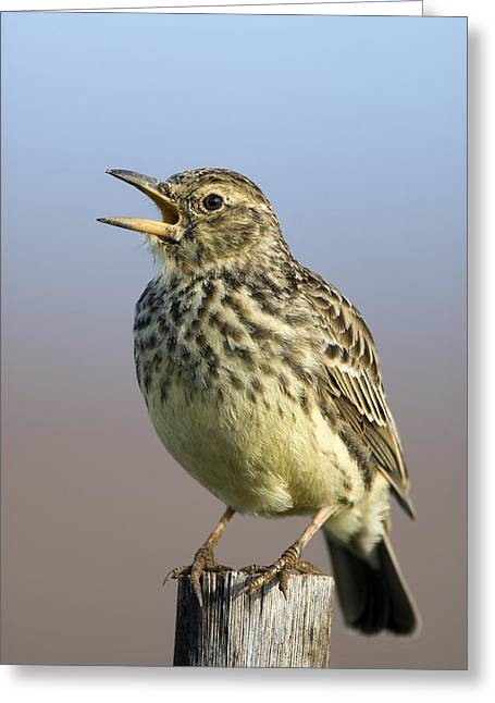 Addo Greeting Cards - Large-billed Lark Greeting Card by Peter Chadwick