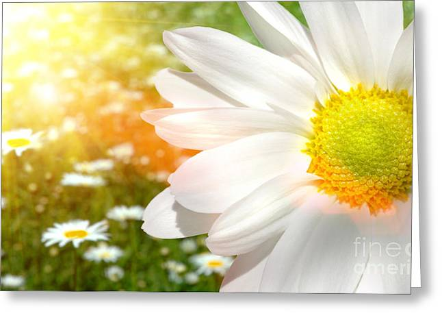 Large daisy in a sunlit field of flowers Greeting Card by Sandra Cunningham