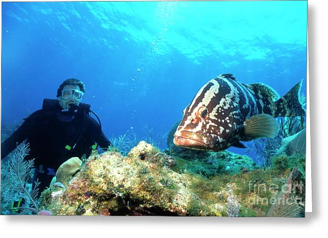 Nassau Grouper Greeting Cards - Large Grouper And Scuba Diver, Cayman Greeting Card by Beverly Factor