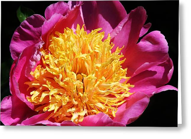 Large Pink Peony Greeting Card by Bruce Bley