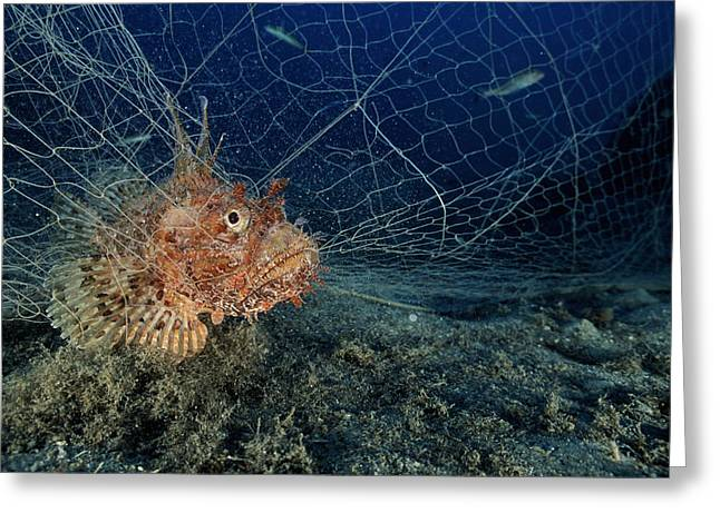 Large-scaled Scorpionfish In A Net Greeting Card by Alexis Rosenfeld