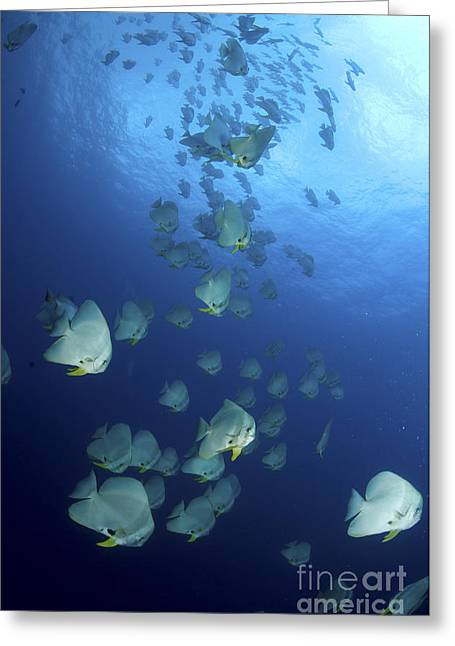 Spadefish Greeting Cards - Large School Of Batfish, Christmas Greeting Card by Mathieu Meur